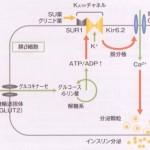 SU薬(スルホニル尿素薬)の作用機序